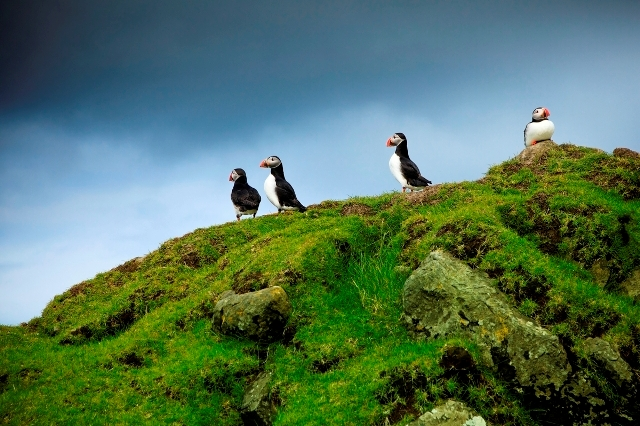 Puffins. Faroe Islands tours, travel to Faroe Islands – Hit The Road Travel