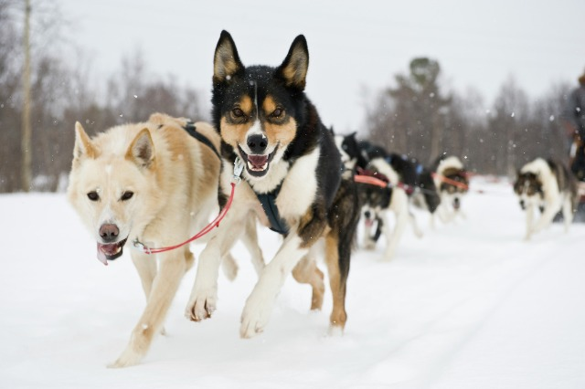 Trip by dog sledge, Alta, Norway. Northern lights tours, winter trips to Norway – Hit The Road Travel