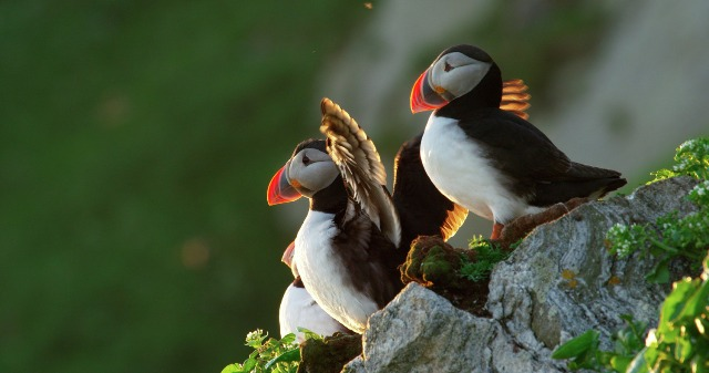 Puffins, Norway. North Cape tours, trips to Norway – Hit The Road Travel