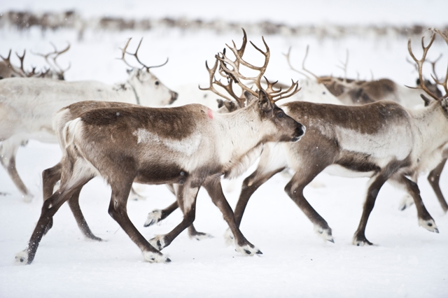 Reindeers in Norwegian Lapland. North Cape tours, trips to Norway – Hit The Road Travel