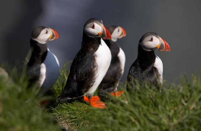 Puffins, Iceland. Iceland tours, trips to Iceland, Iceland travel – Hit The Road Travel
