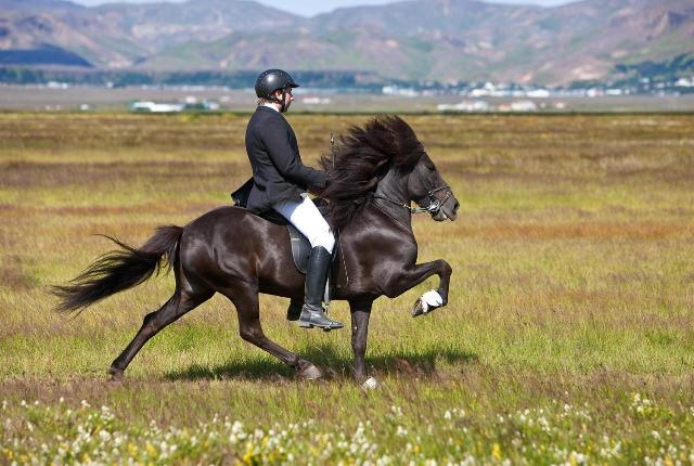 Icelandic horse. Iceland tours, trips to Iceland, Iceland travel – Hit The Road Travel