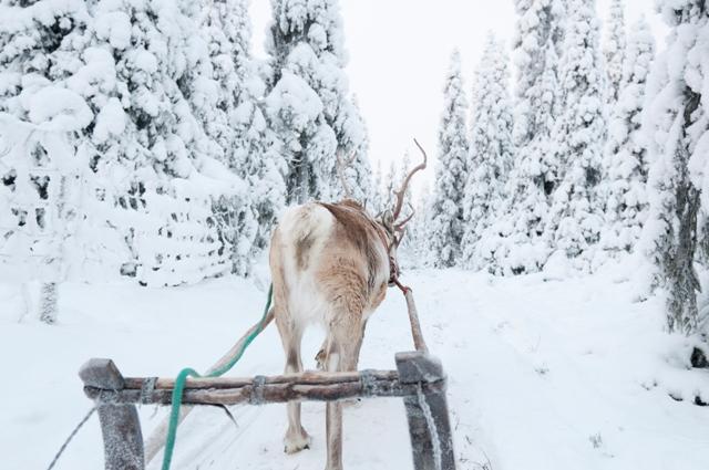 Reindeer sleigh ride, Rovaniemi, Finland. Santa Claus trips, Rovaniemi tours