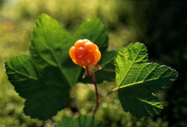 Cloudberry. Santa Claus trips, Rovaniemi tours