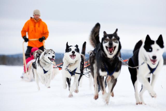 Dog sledding, Finland. Santa Claus trips, Rovaniemi tours