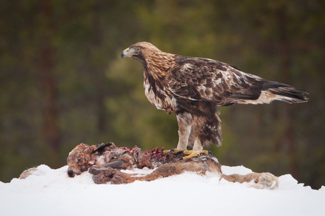 Golden eagle. Trips to Lapland, tours of Finnish Lapland – Hit The Road Travel