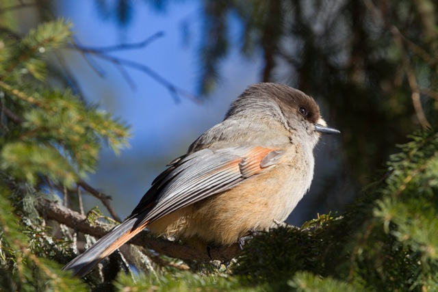 Siberian jay. Trips to Lapland, tours of Finnish Lapland – Hit The Road Travel