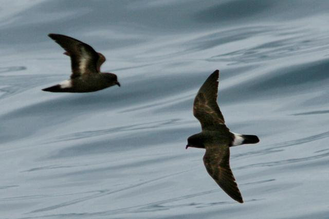 Storm petrels. Faroe Islands tours, travel to Faroe Islands – Hit The Road Travel